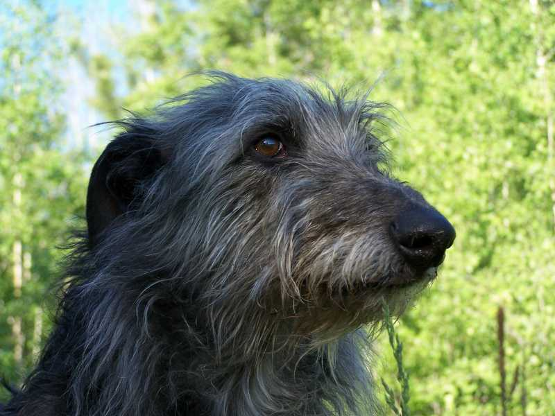 Celebrating Senior Deerhounds