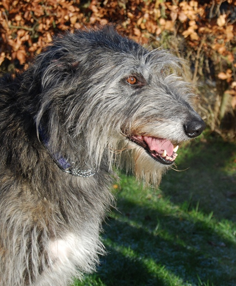 The Original Deerhound
