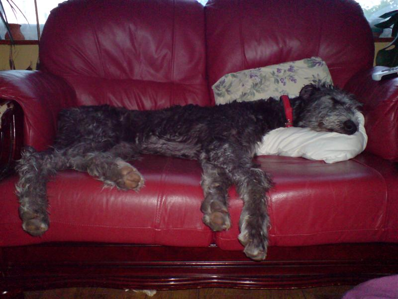 Crufts Deerhound