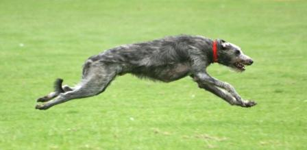 Lure Coursing Deerhound