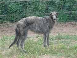 Missing Deerhound