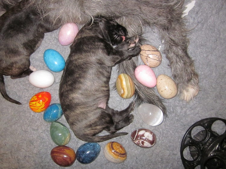 Deerhound Puppy and Eggs