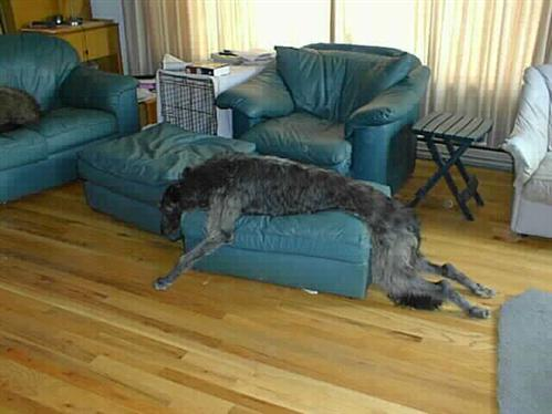 Sleepy Deerhound