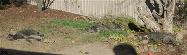 Canberra_Deerhound_Massacre_28_06_2008.jpg