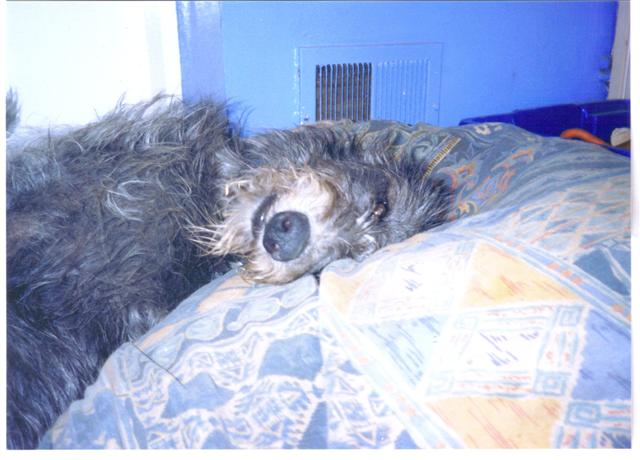 Sleepy_Deerhound-4bf03469f91eb6b7c742e46d26733adf.jpg