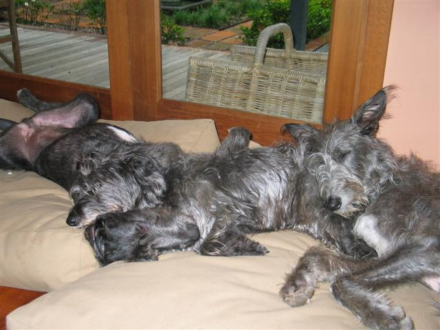 sleepy_deerhound.JPG